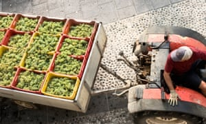 Grapes in a container on the back of a tractor at Villa Franciacorta, Franciacorta, Italy.