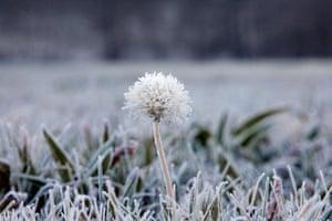 Hoar frost on a dandelion in a frozen meadow in A Coruña, northwestern Spain
