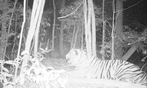 A Sumatran tiger that Greg McCann believes dwells within the territory of the local village.