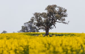 Canola is also known as rapeseed.