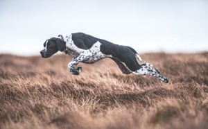 First place, dogs at work. Rita the pointer on the moors in County Durham