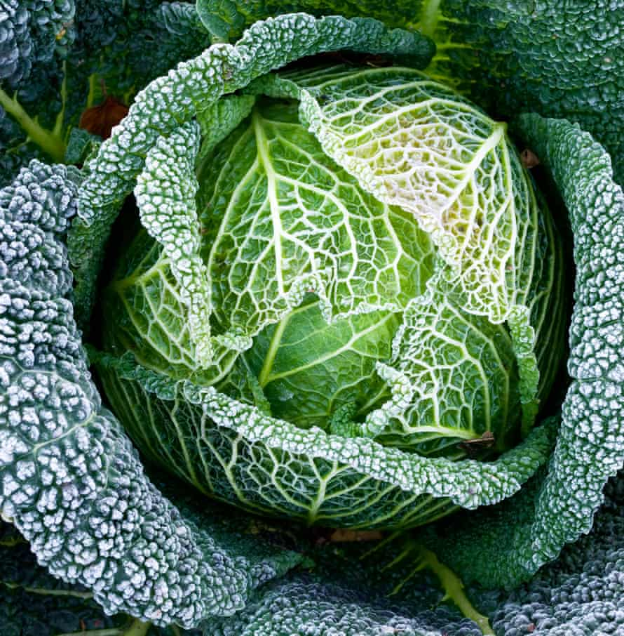 a cabbage