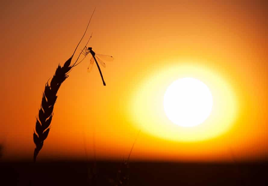 A dragonfly lands on a stalk of wheat. Many insects are in rapid decline due to factors such as habitat loss and intensive farming methods.