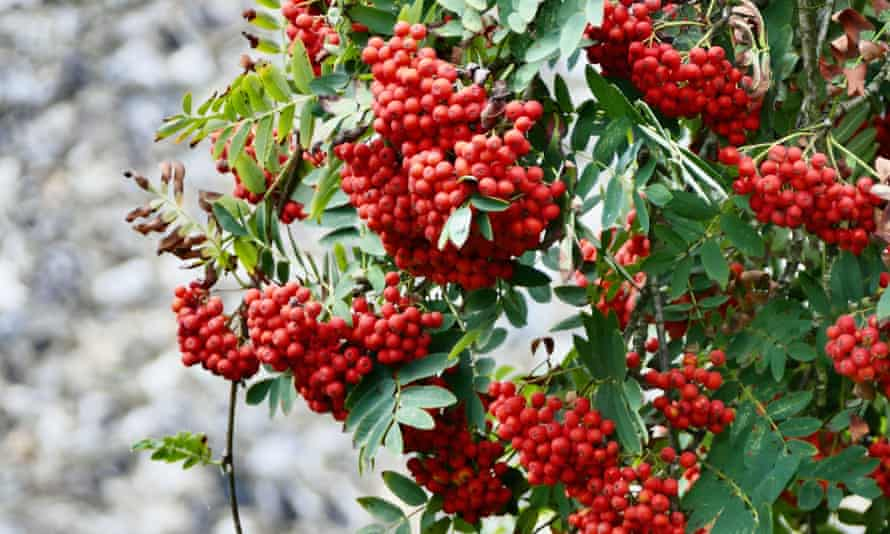 Rowan berries in Henley on Thames, Oxfordshire.
