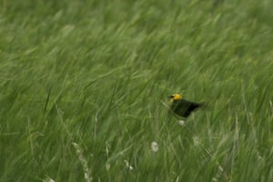 A yellow-headed blackbird perches on a stalk of grass in a wetland near Sterling, North Dakota