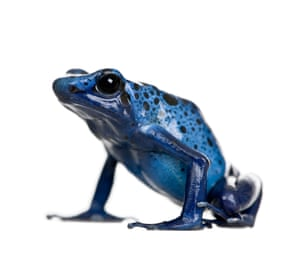 A blue poison dart frog (Dendrobates azuresus) photographed in a studio. Even as scientists fear for global biodiversity, amphibians are already suffering from an extinction crisis. Scientists believe we have lost around 200 species of amphibians in recent decades.