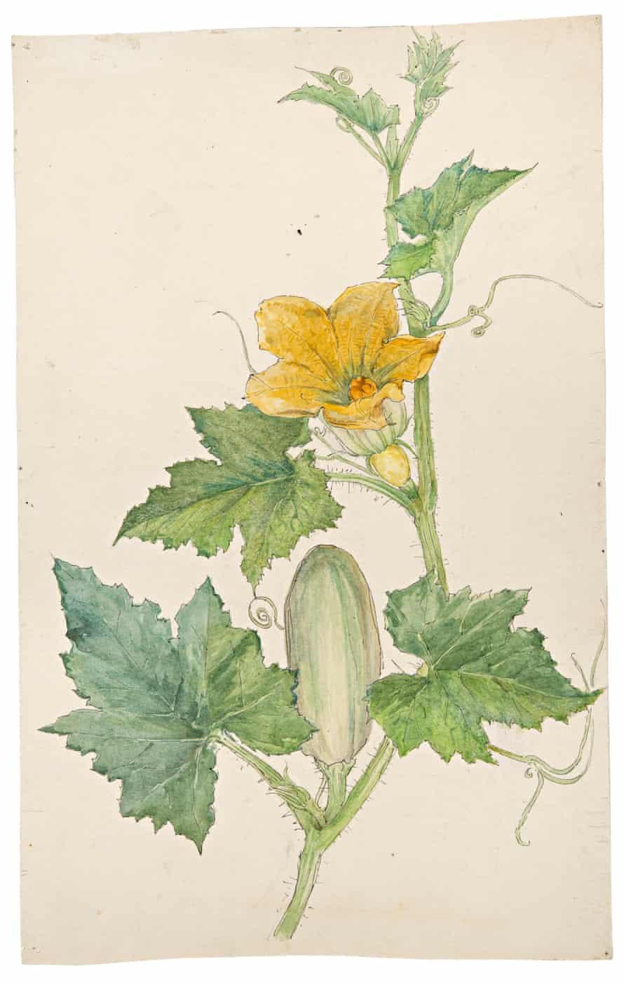 An 1890s botanical study of a cucumber plant