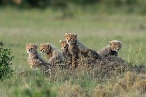 Cheetah cubs in Maasai Mara national reserve, Kenya