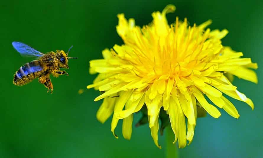 A bee flies next to a dandelion flower near Warsaw