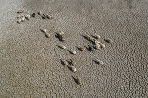 An aerial view of a flock of sheep in search of water on a dried up lake bed.