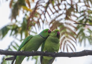 Rose-ringed parakeets in a forest in Kathmandu, Nepal