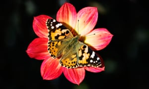 The painted lady butterfly, 'probably the most successful butterfly in the world'.
