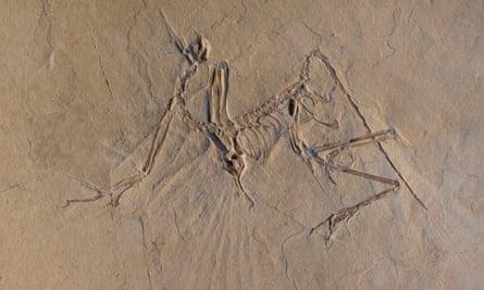 The Munich specimen of the transitional bird Archaeopteryx.