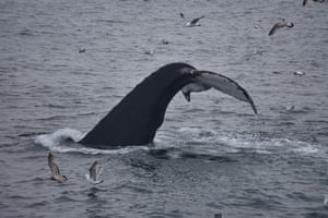 A whale displaying her genital mound, which is usually impossible to see