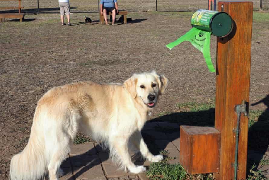 Lucie the Golden Retriever checks out a compost bag dispenser at Port Elliot dog park