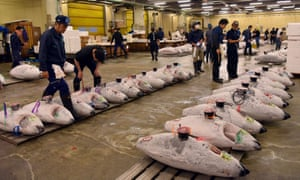 Frozen tunas lined up during an early-morning auction at Tokyo's Tsukiji market