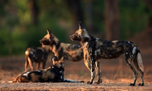 African wild dogs in Mana Pools National Park, Zimbabwe