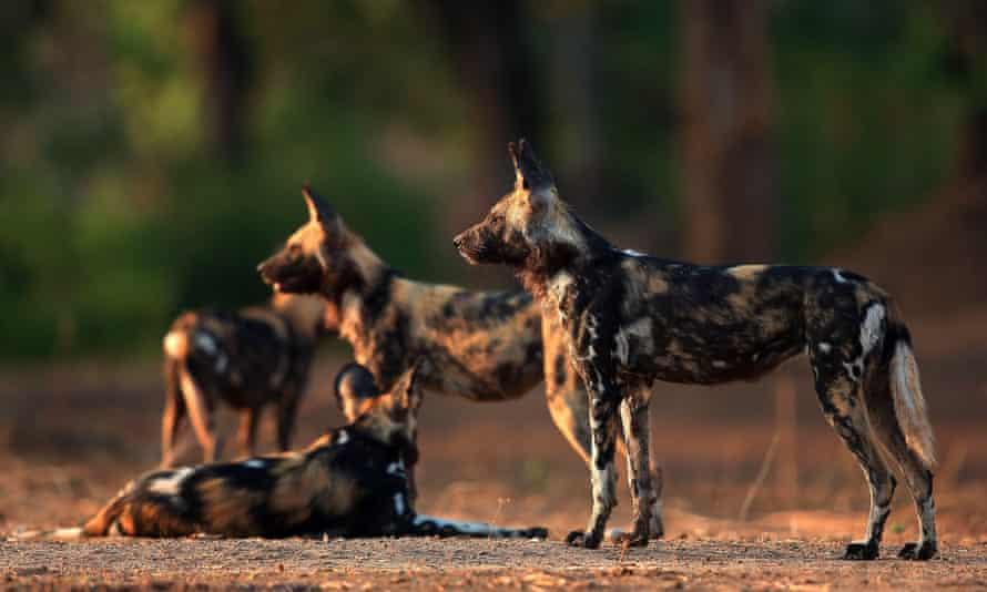 African wild dogs, Mana Pools National Park, Zimbabwe.