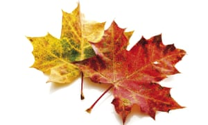 Two Autumn maple leaves, one red, the other yellow, side by side