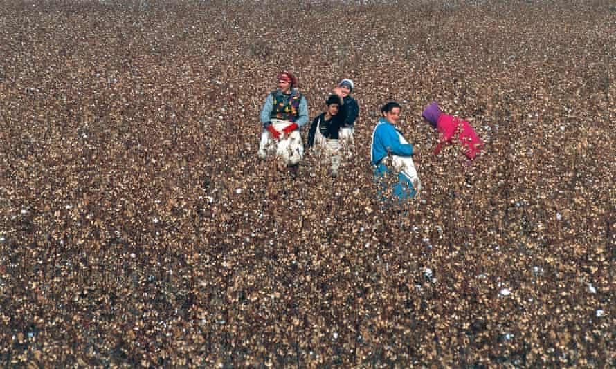 Workers pick cotton in a field in Uzbekistan.