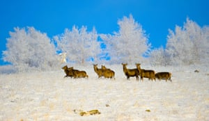 Deers walk past rime-covered trees at the Hexigten Global Geopark in Chifeng City, Inner Mongolia