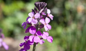 Erysimum 'Bowles's Mauve' is a pretty spring bloom