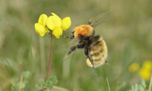 A great yellow bumblebee. Its numbers have declined steeply in recent years.