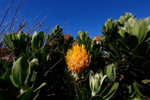 Indigenous South African Leucospermum cordifolium, also known as a pin cushion protea growing at Cape Point, South Africa