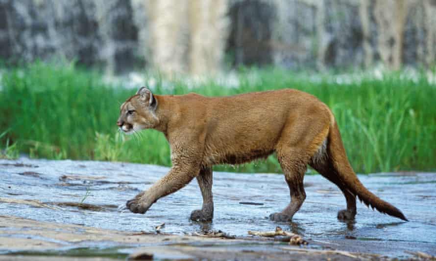 A cougar, seen in Colorado.