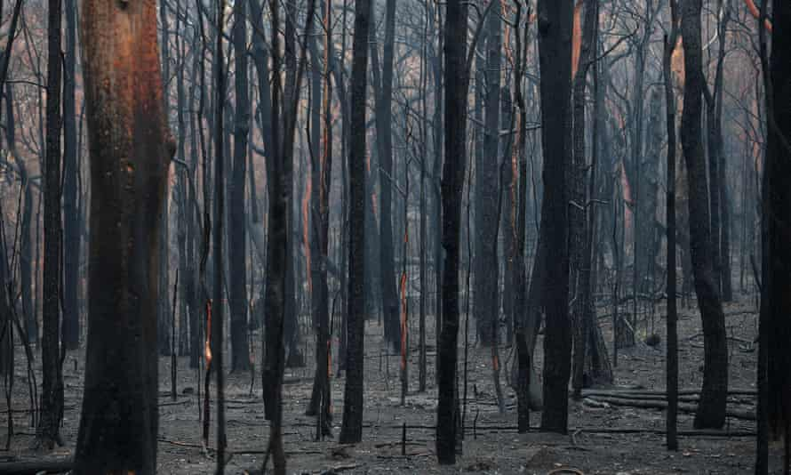 Burned trees in the aftermath of the Gospers Mountain fire