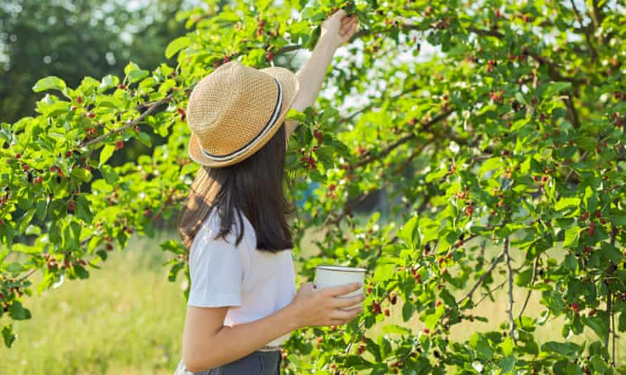 A young woman picking mulberries in a sunny garden.