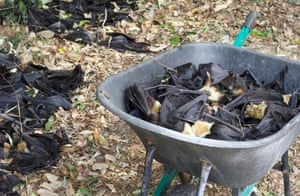 One third of the locally endemic Spectacled Flying-foxes population died in a heatwave in Cairns in 2018.