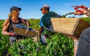 Bordeaux, FranceAgricultural workers harvest Cabernet-Sauvignon grapes at the vineyard Chateau Haut Brion.