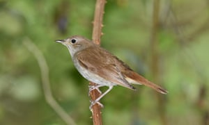 Nightingale - Luscinia megarhynchos