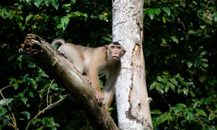 Southern pig-tailed macaques are listed as vulnerable and regularly shot on palm oil plantations, but new research shows they may act as natural pest control against rats.