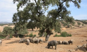 Iberian pigs search for acorns