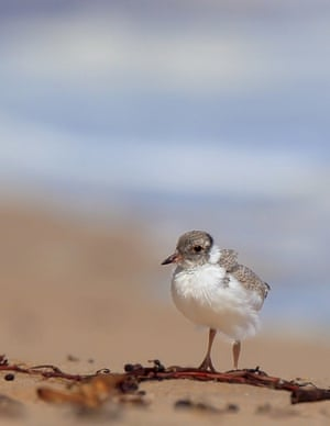 A juvenile hooded plover.