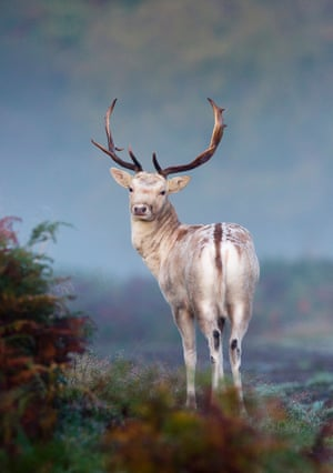 Animal portraits winner (2011): Mystical Mist (fallow deer) by Mark Smith, Surrey