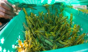 A container holding Desert Locusts