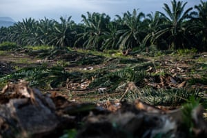 A dog walks through an oil palm plantation at Sabah Softwoods Berhad in the state of Sabah, Borneo