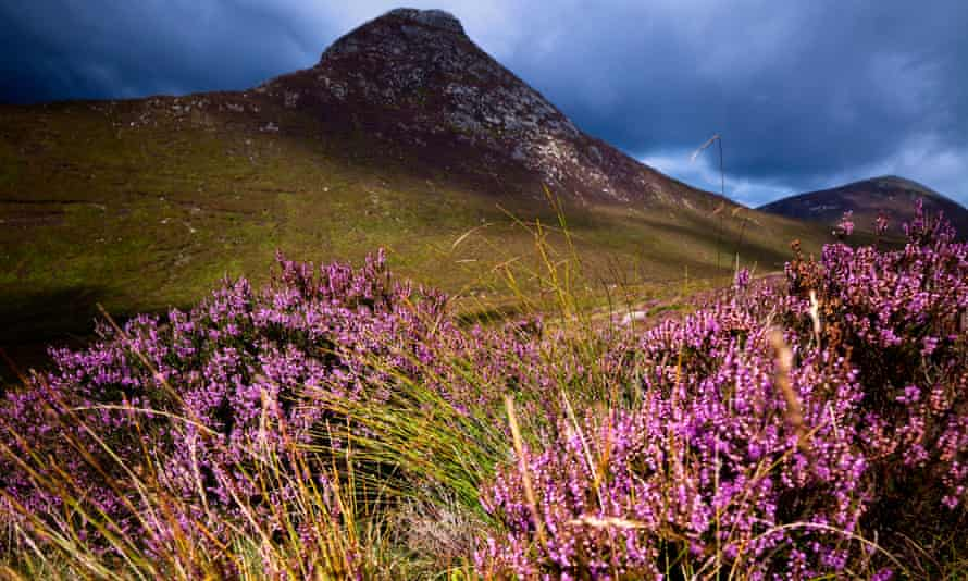 Wild Heather at Doan in the Mourne Mountains, Co. Down