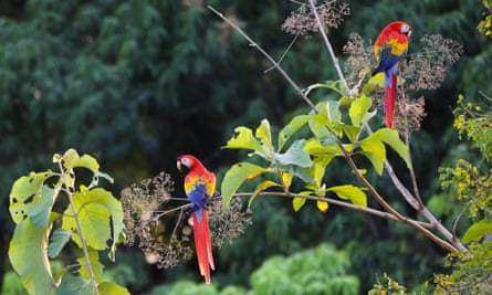 Macaws do not mature until they are eight years old and spend their juvenile years leaning social interaction.