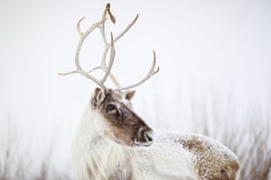 A reindeer, or boreal woodland caribou, in Manitoba, Canada