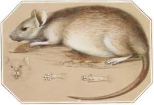 Ludwig Becker, Long-haired Rat, 1861, State Library of Victoria.