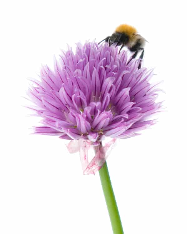 Bee on a chive flower head,
