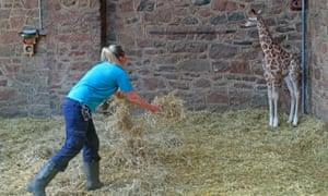 در عکسی که در ماه مارس گرفته شده است ، كارولین رایت ، نگهبان باغ وحش چستر ، كاهی تمیز در قلم زرافه روتشیلد 9 روزه كه در باغ وحش چشایر متولد شده است ، بسیار در معرض خطر قرار می دهد.