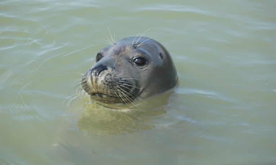A seal pup in the Thames estuary.
