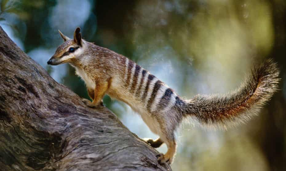 The numbat has now been uplisted from vulnerable to endangered.