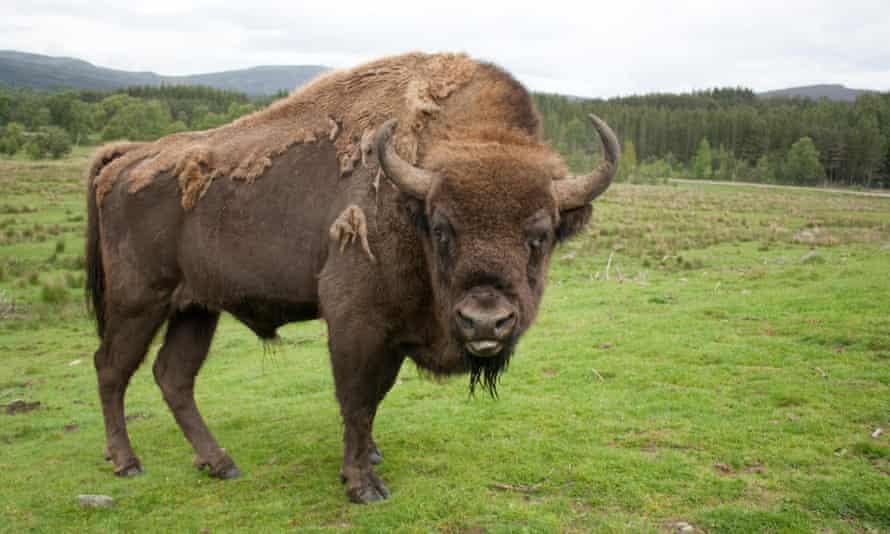 bison romania