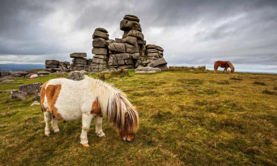 Wild Dartmoor ponies at Staple Tor near Merrivale, Dartmoor National Park, Devon